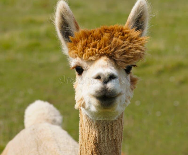 Amo a Lucy la alpaca imagen de archivo libre de regalías