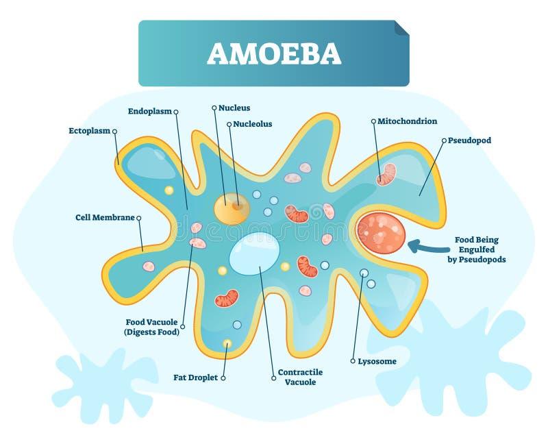 Amoebe geëtiketteerde vectorillustratie Eencellige dierlijke structuurregeling vector illustratie