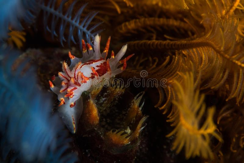 Amoenula impetuoso de Okenia do nudibranch subaquático fotos de stock royalty free