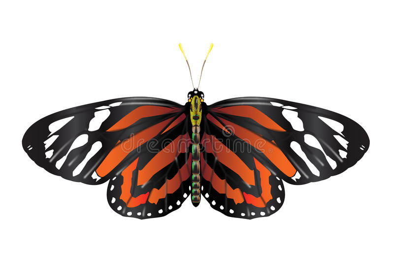 AMonarch Butterfly with open wings. Monarch Butterfly with open wings in a top view as a flying migratory insect butterflies that represents summer and the royalty free illustration