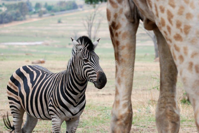 Amongst Giants - Zebra and Giraffe royalty free stock photography