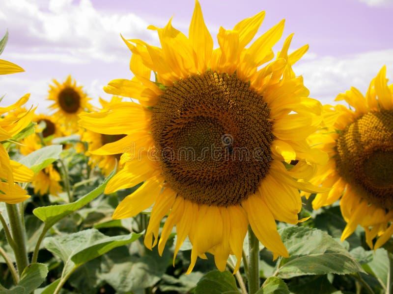 amongst många solros royaltyfri bild