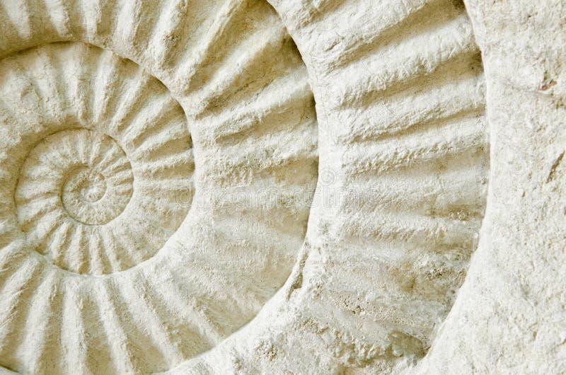 Amonit prehistoryczna skamielina zdjęcia royalty free