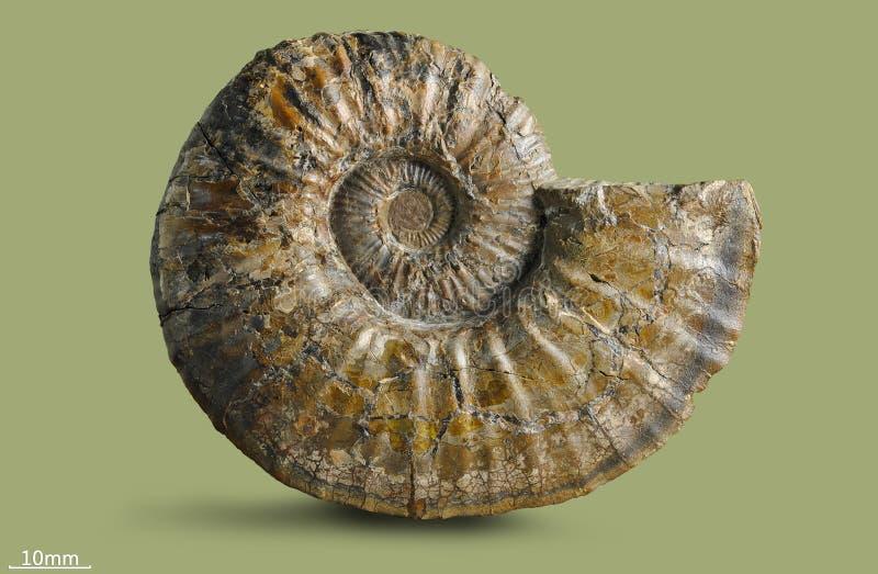 Amonita - molusco fósil imágenes de archivo libres de regalías
