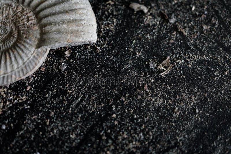 Amonitas parciales en fondo negro, natural, arenoso imagen de archivo libre de regalías
