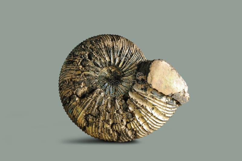 Amonite - molusco fóssil imagem de stock
