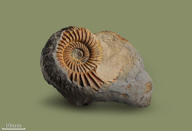 Amonite - molusco fóssil imagem de stock royalty free