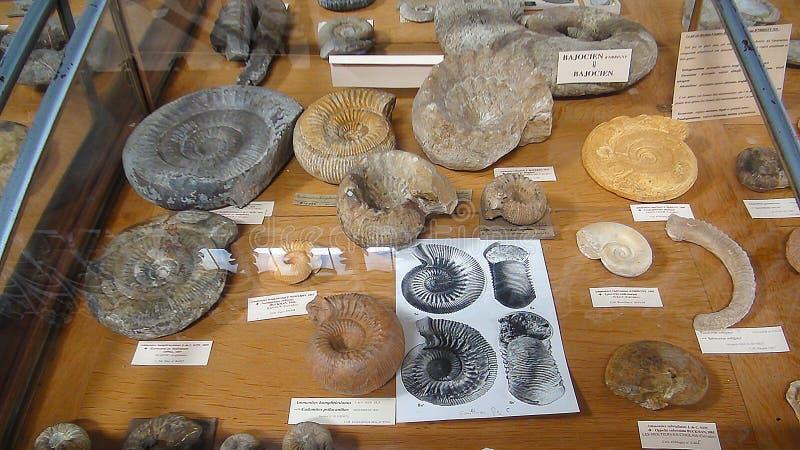 Amonites fósseis do museu fotos de stock royalty free
