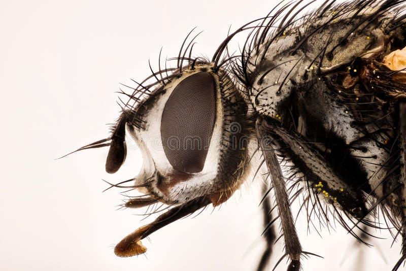 Amontonamiento del foco - ferox de Nowickia, ferox de Tachina, Tachinidae, mosca fotos de archivo libres de regalías