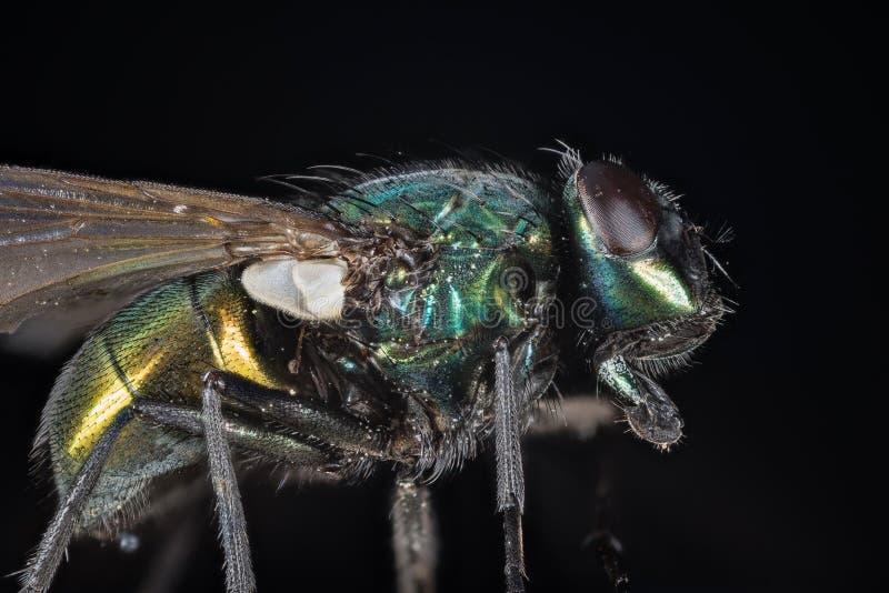 Amontonamiento del foco - la mosca verde común de la botella, mosca de Greenbottle, vuela fotografía de archivo libre de regalías