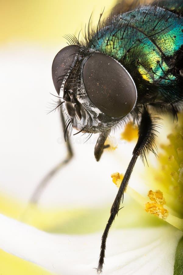 Amontonamiento del foco - la mosca verde común de la botella, mosca de Greenbottle, vuela fotografía de archivo