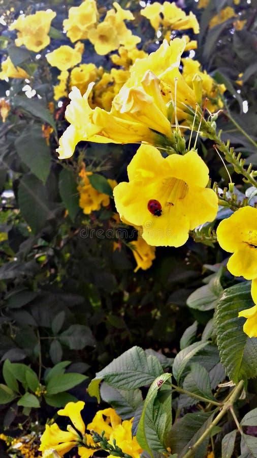 Amor amarelo imagens de stock royalty free