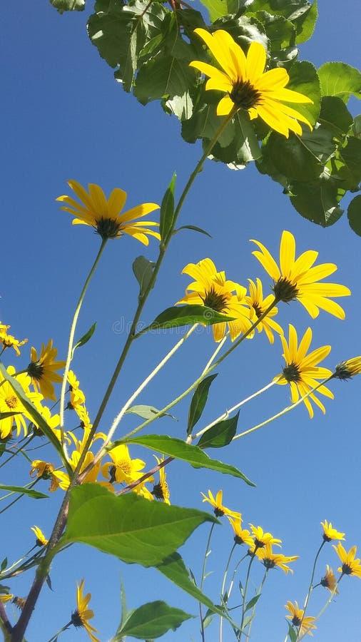 Amor amarillo de la flor y del cielo imagen de archivo