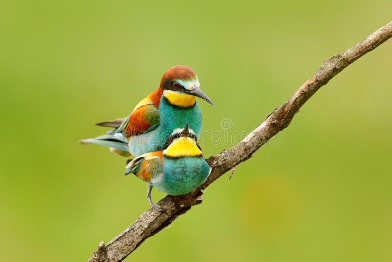 Amor animal, Abeja-comedores europeos acoplándose en la rama con el fondo verde y amarillo claro, Hungría Escena de la fauna de l foto de archivo libre de regalías
