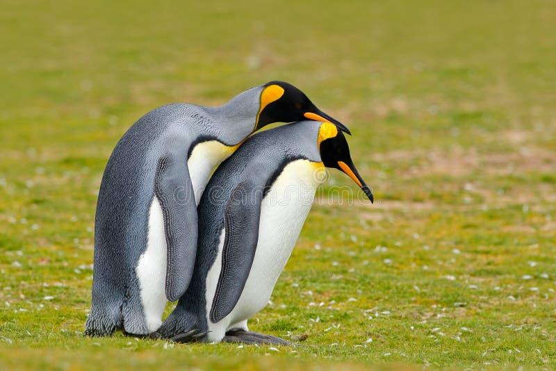 Amor animal Pares que abrazan, naturaleza salvaje, fondo verde del pingüino de rey Dos pingüinos que hacen el amor En la hierba E foto de archivo