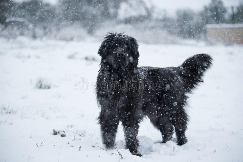 Amor bonito do Valentim do xmas do Natal de Santa do cão de Terra Nova imagem de stock