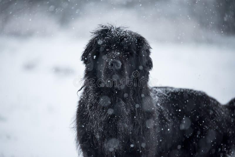 Amor bonito do Valentim do xmas do Natal de Santa do cão de Terra Nova fotografia de stock
