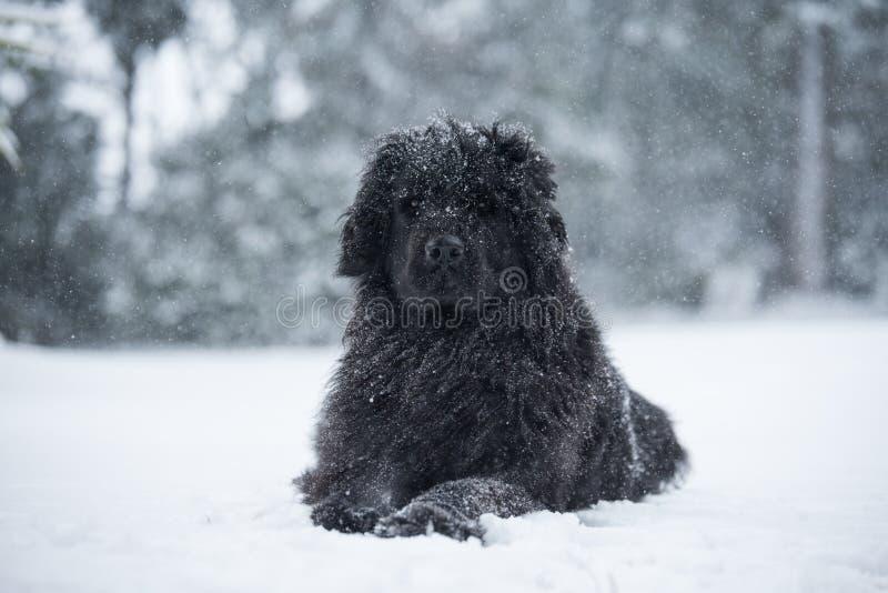 Amor bonito do Valentim do xmas do Natal de Santa do cão de Terra Nova fotos de stock royalty free