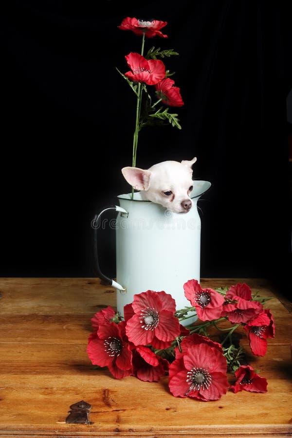 Amor da chihuahua foto de stock royalty free