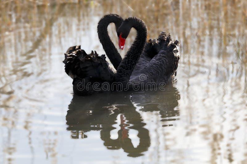 Amor da cisne imagens de stock