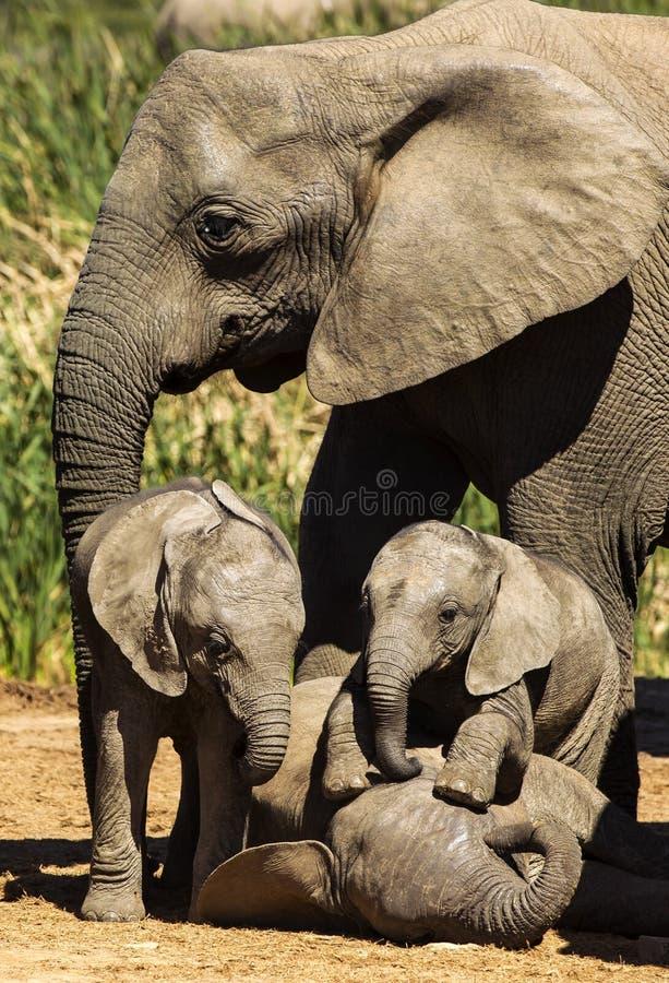 Amor da família do elefante imagem de stock royalty free