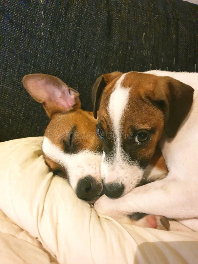 Amor de cachorrinho foto de stock