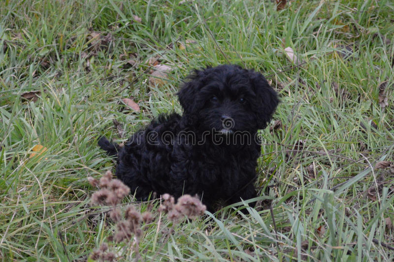 Amor de Cavapoo fotos de stock royalty free