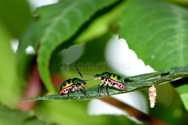 amor de insectos foto de archivo libre de regalías