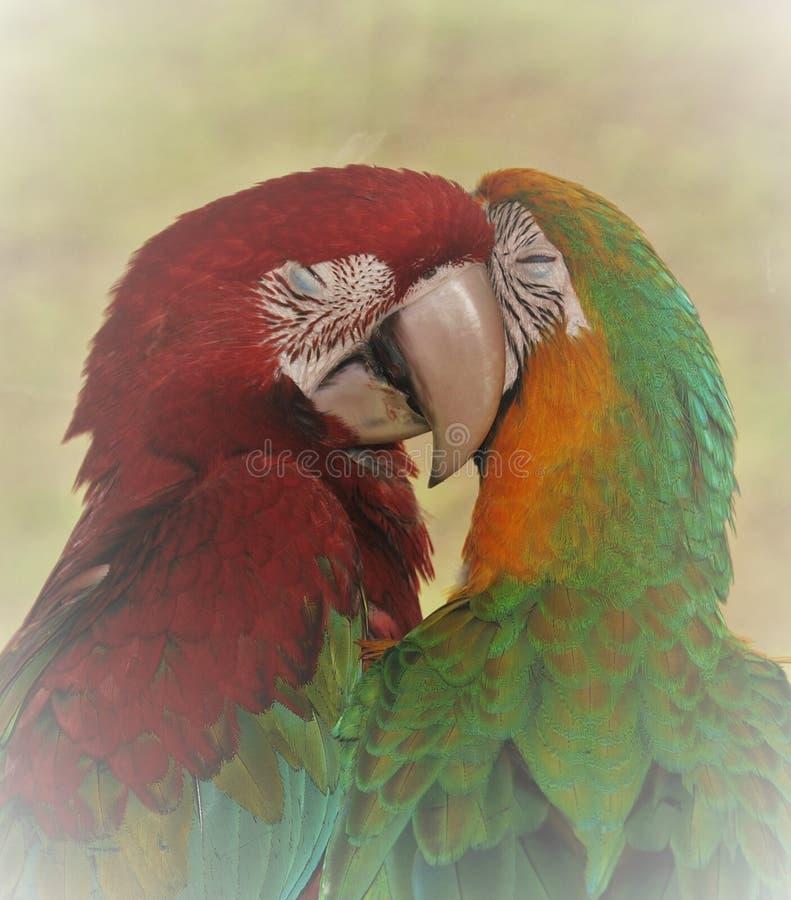 Amor de irmã do papagaio imagem de stock