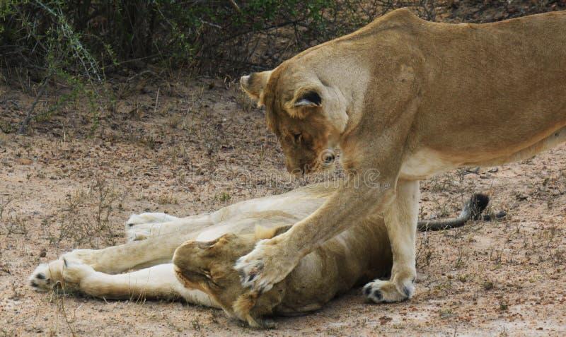 Amor de irmã mostrado por leões fotografia de stock
