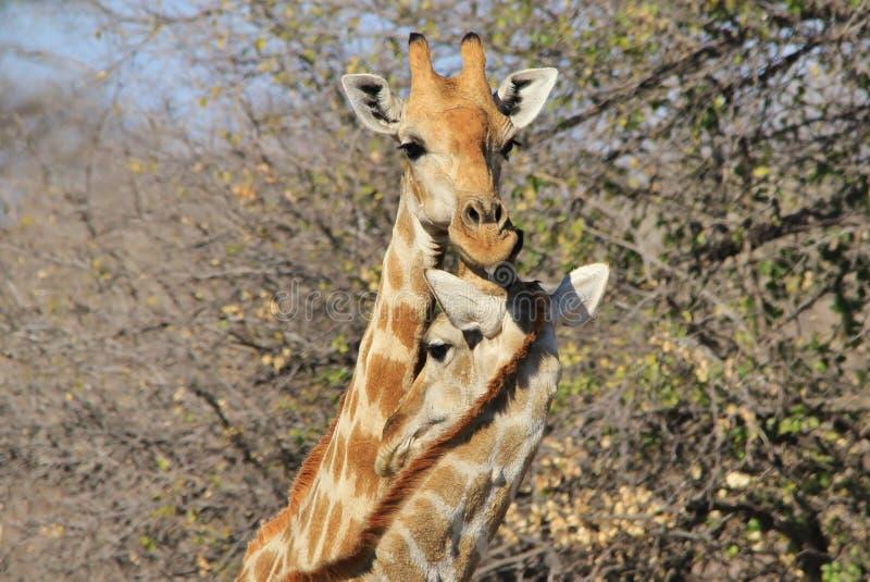 Amor de la jirafa - fondo de la fauna de la emoción animal en África imagenes de archivo