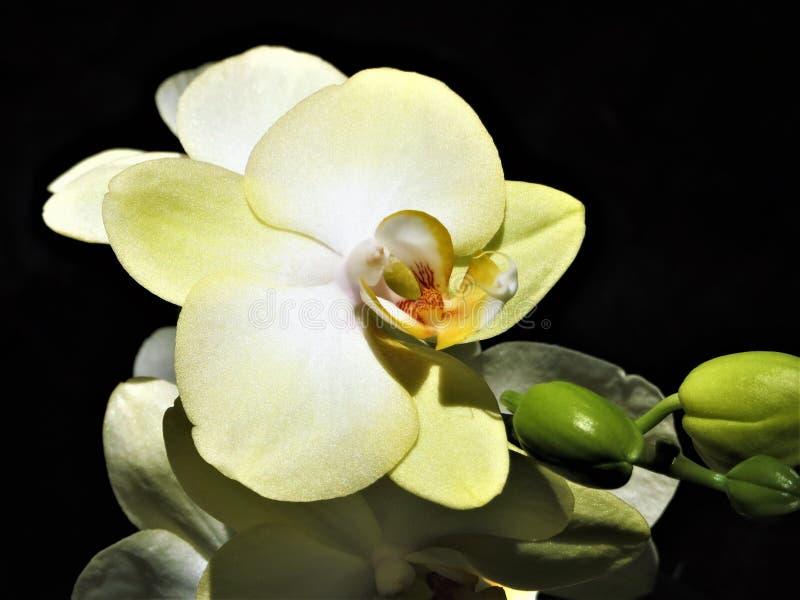 Amor de la orquídea foto de archivo libre de regalías
