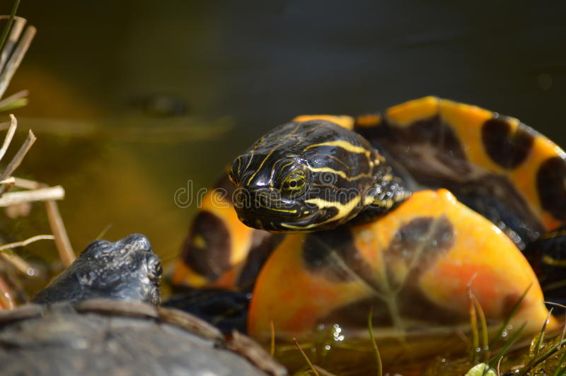 Amor de la tortuga foto de archivo