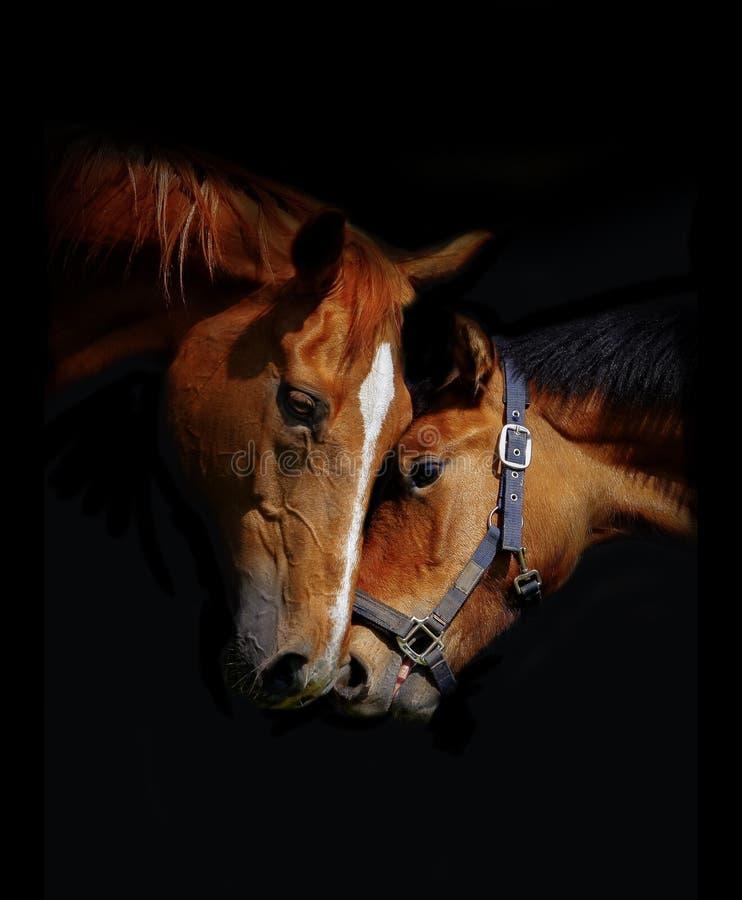 Amor de los caballos imagen de archivo
