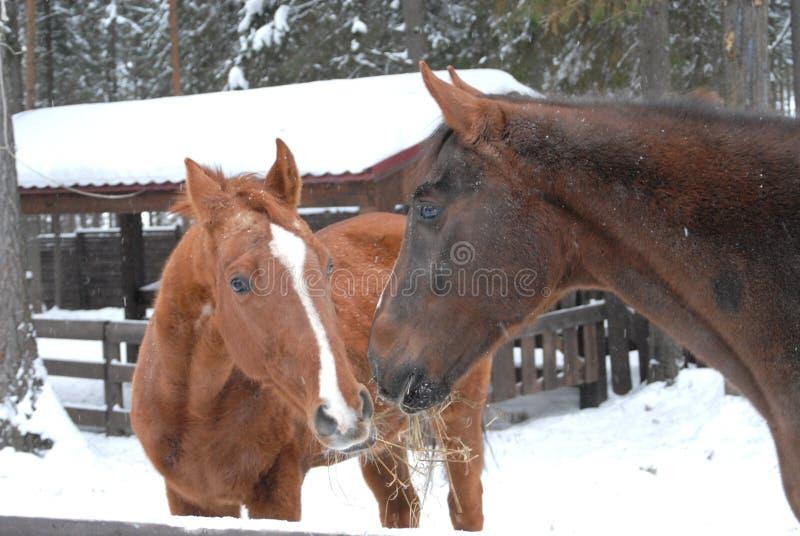 Amor de los caballos fotografía de archivo libre de regalías