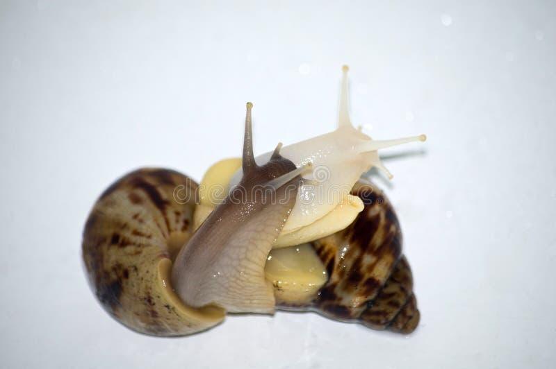 Amor de los caracoles con el aislante blanco imagen de archivo libre de regalías