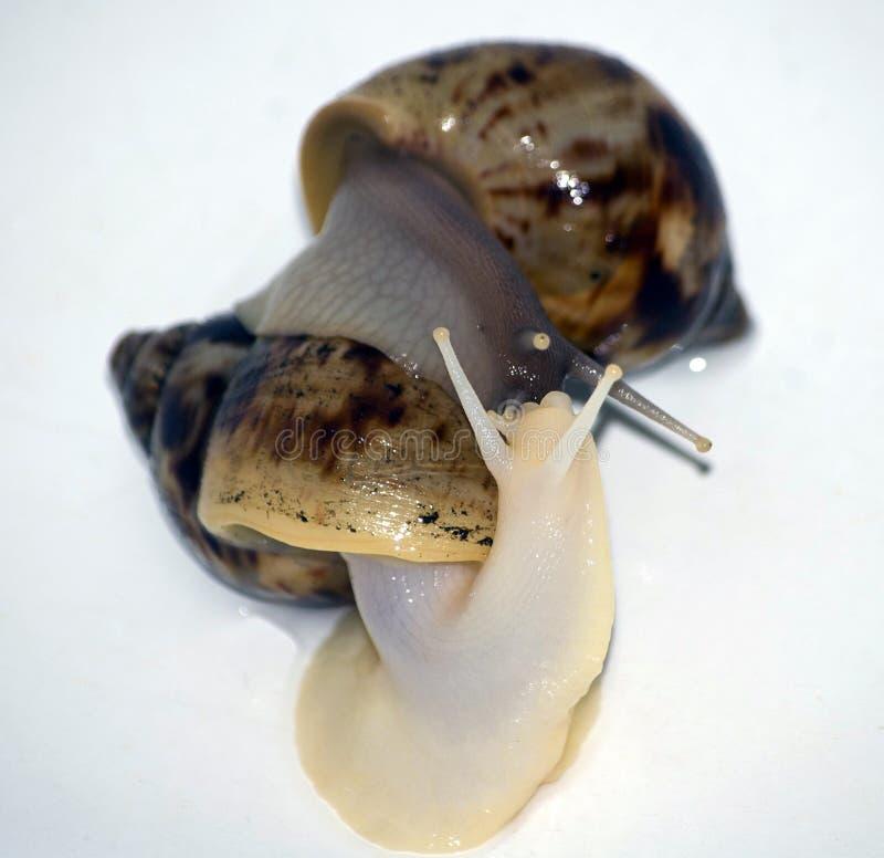 Amor de los caracoles con el aislante blanco foto de archivo libre de regalías