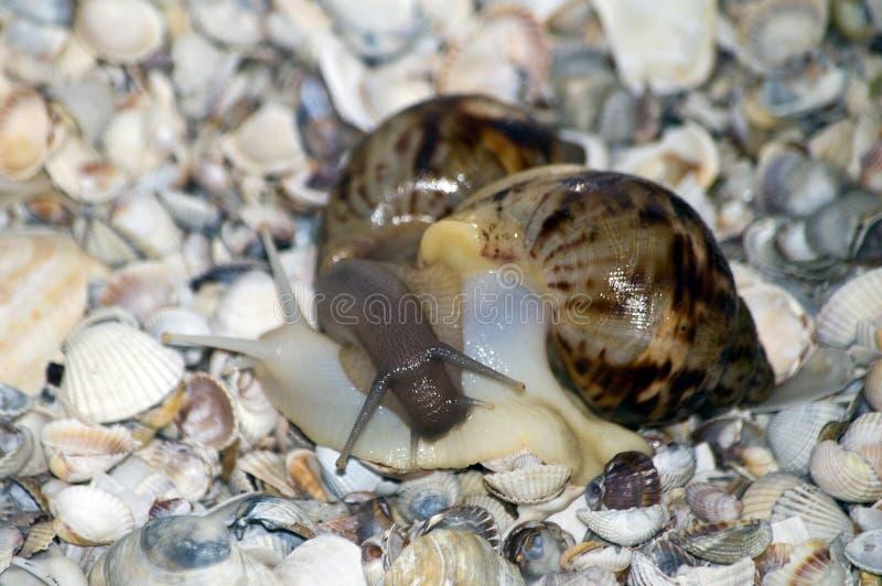 Amor de los caracoles con las conchas marinas en fondo fotografía de archivo libre de regalías