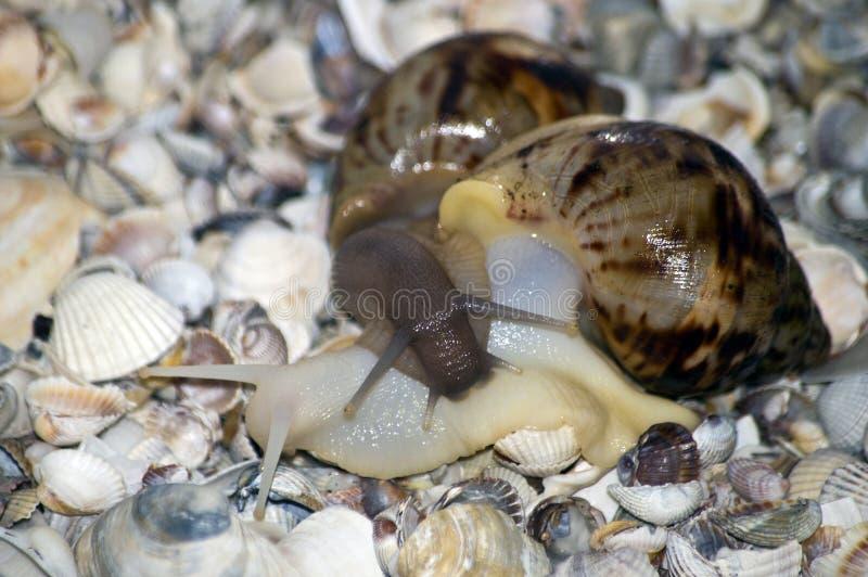 Amor de los caracoles con las conchas marinas en fondo fotos de archivo libres de regalías