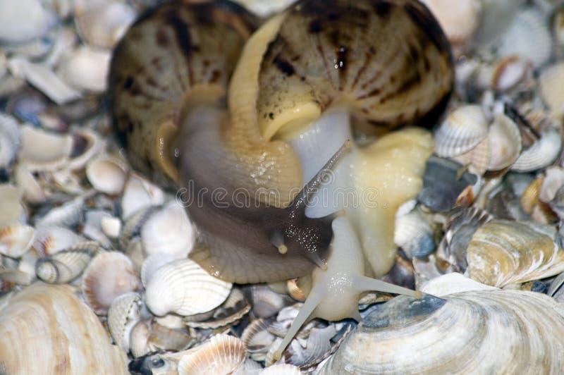 Amor de los caracoles con las conchas marinas en fondo fotografía de archivo