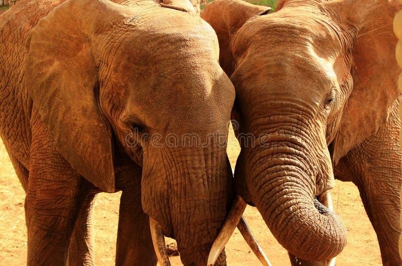 Amor de los elefantes imagenes de archivo