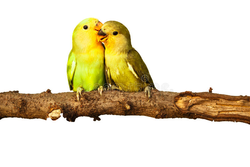 Amor de los pájaros en aislado fotografía de archivo