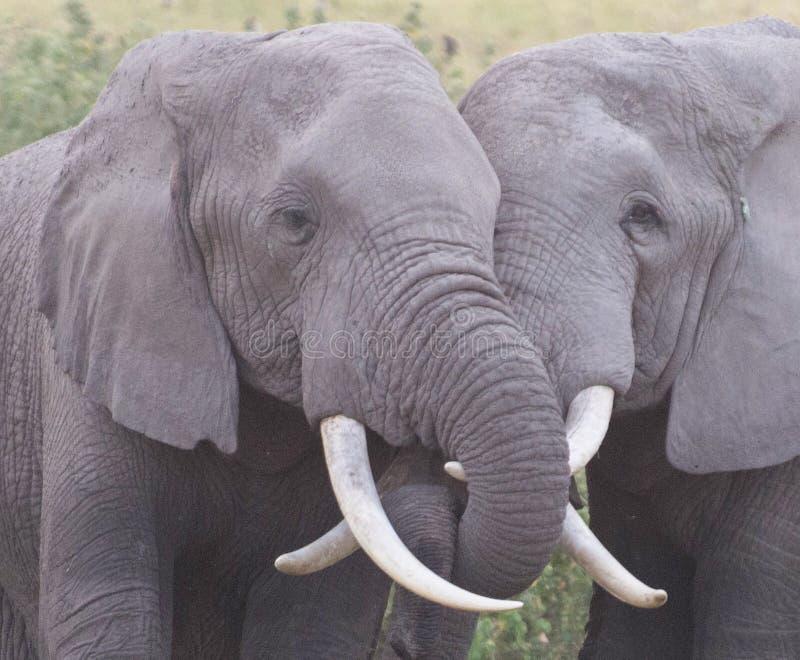 Amor del elefante imagen de archivo
