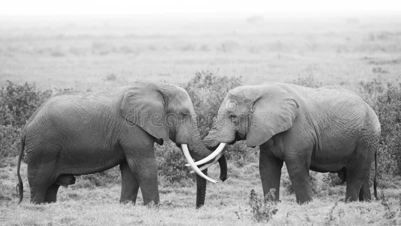 Amor del elefante foto de archivo libre de regalías