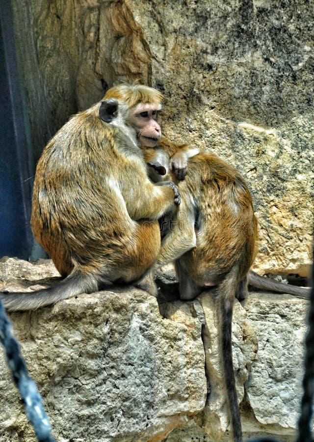 Amor del mono foto de archivo