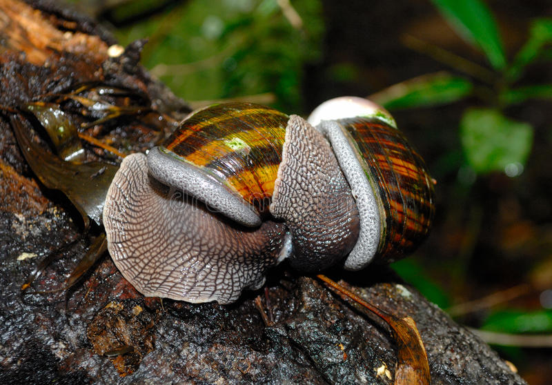 Amor do caracol em Madagáscar imagens de stock royalty free