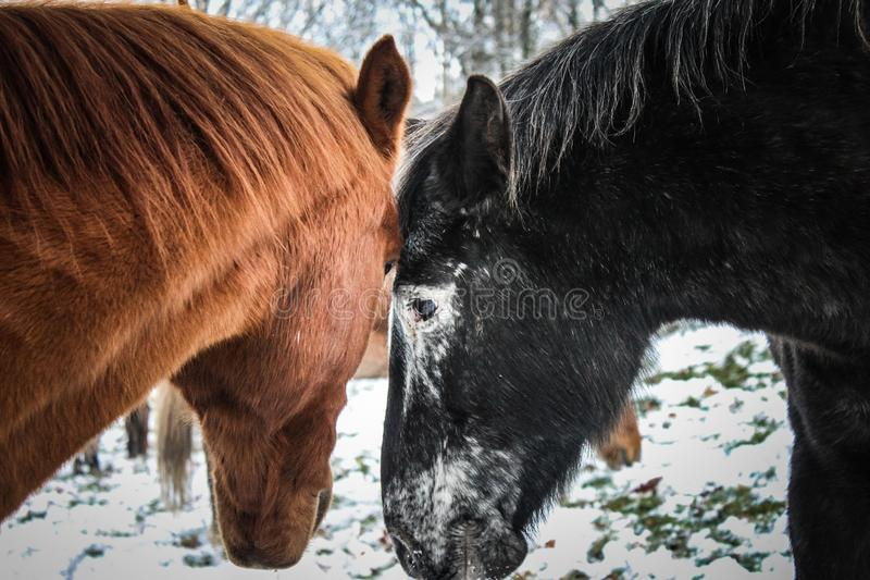 Amor do cavalo foto de stock