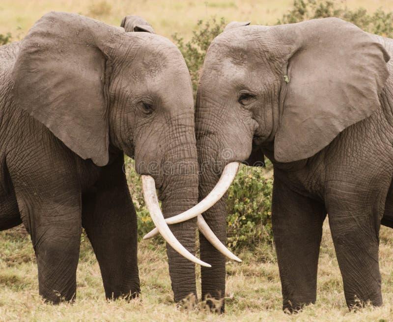 Amor do elefante imagem de stock royalty free