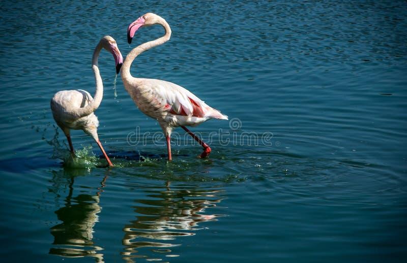 Amor do flamingo foto de stock