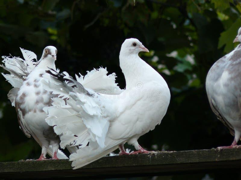 Amor e pombas imagens de stock royalty free